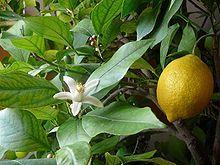 Gänseblümchen Obst - Gemüsesirup Zitrone mit Gurke 500 ml