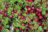 Gänseblümchen-Fruchtsirup Cranberry 500 ml, Nahrungsergänzungsmittel, Antioxidans, natürliche Abwehrkräfte Rodinná farma Sedmikráska