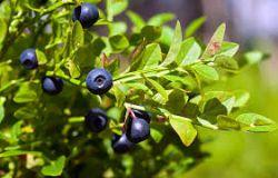 Fruchtmarmelade aus Gänseblümchen - Blaubeerwaldfrüchte einer einzelnen Art, ohne Zusatz von Äpfeln usw., Verhältnis Obst: Zucker - 2: 1, mit Zusatz von Vitamin C.. 520 ml Rodinná farma Sedmikráska